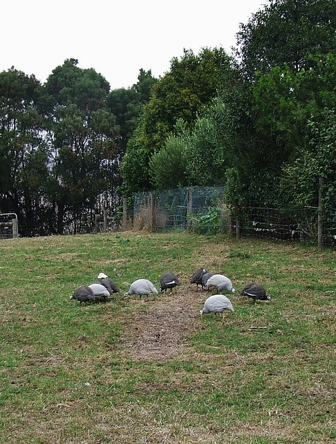the guineas discover the paddocks