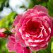Rose 49/50 : Built for Comfort
