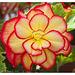 """Begonia """"Sunburst"""""""