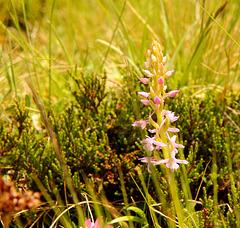 wohlriechende Händelwurz - Gymnadenia odoratissima