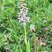 Mücken-Händelwurz (wilde Orchidee) - PIP-