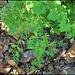 Chelidonium majus laciniatum (2)