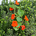 DSC 0699ac Home Courageous Nasturtiums