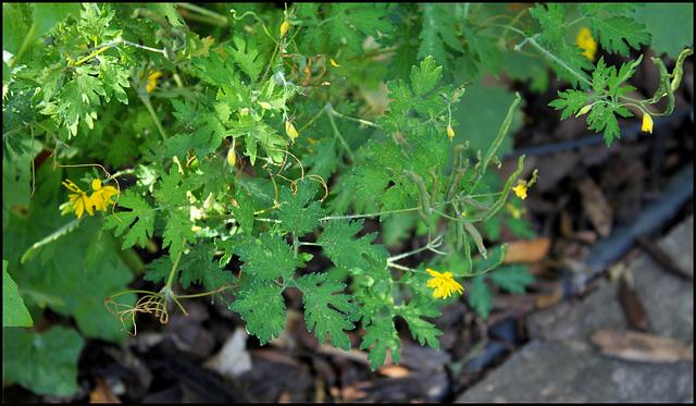 Chelidonium majus var. laciniatum (3)