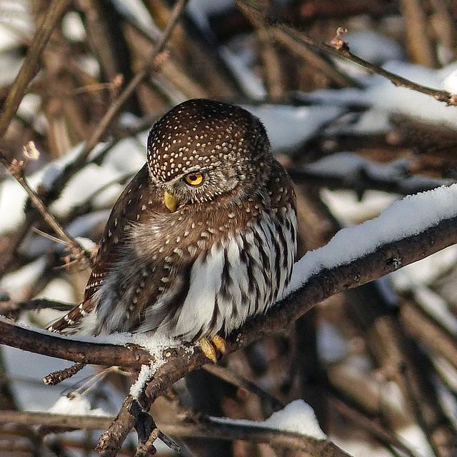 Northern Pygmy-owl on snowy branch
