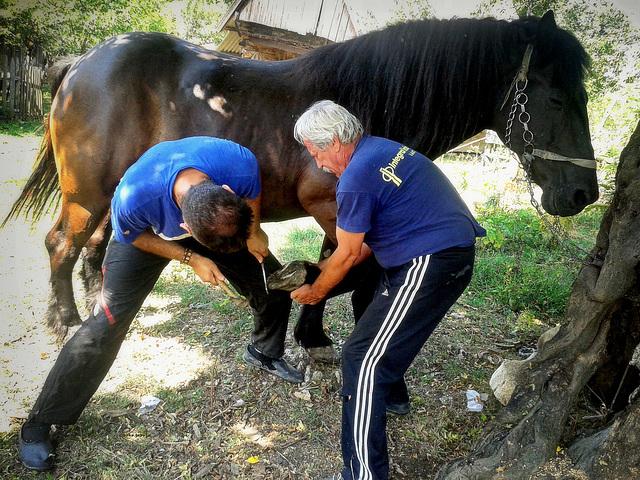 Shoeing of horses II