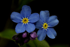 Forget-me-not..