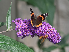Red Admiral and Hornet Mimic Hoverfly