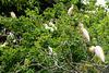 Guatemala, Cattle Herons Nesting on a Tree