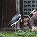 20140926 5477VRAw [D~SFA] Marabu, Strauß, Vogelpark, Walsrode
