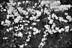 Damson blossom.