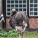 20140926 5478VRAw [D~SFA] Marabu, Strauß, Vogelpark, Walsrode