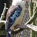 Martin chasseur à ailes bleues (Dacelo leachii), Parc des oiseaux (Ain, France)