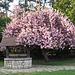 le magnolia et son puits