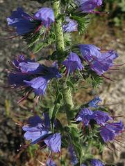 Vipérine commune (Echium vulgare, Boraginaceae) (Chemin de Compostelle, du Mont-Saint-Michel à Mimizan, département de la Gironde, France)