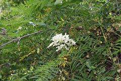 Sorbaria sorbifolia (1)