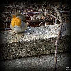 La photo du jour, petit robin  a un peu froid..!