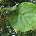 Feuille et fruit (kiwi) (Ardèche, France)