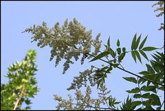 Sorbaria sorbifolia (2)