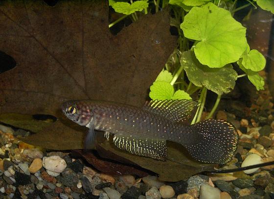 002 Perlmuttfächerfisch (Simpsonichthys whitei)