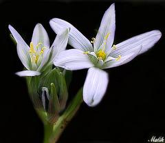 fleur Dominicale.