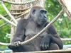 Western Lowland Gorilla (5) - 18 May 2017