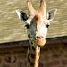 Giraffe posing