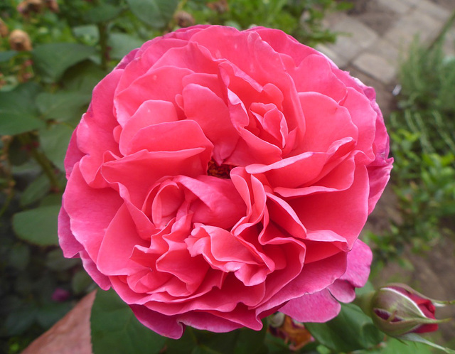 Rose - rozo