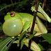 Grenouille hylode des Antilles
