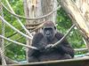 Western Lowland Gorilla (6) - 18 May 2017