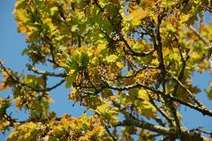 oak flowers2