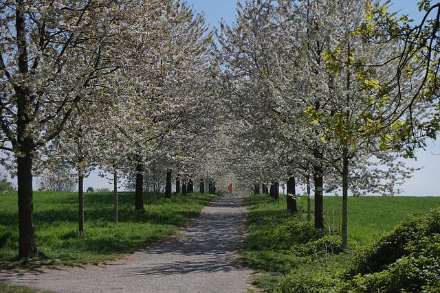 Allein unter Kirschblüten