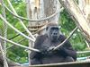 Western Lowland Gorilla (7) - 18 May 2017