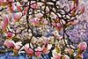 Im Kaisergarten blühen die Magnolien -  The magnolias bloom again