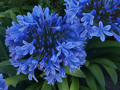 P8073376ac Blue Agapanthus Just Flowering at Home Terrace Entry