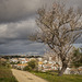 Almond Tree Blossoms - Tavira Portugal