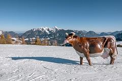 Cow in Cream