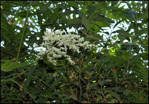 Sorbaria sorbifolia (4)