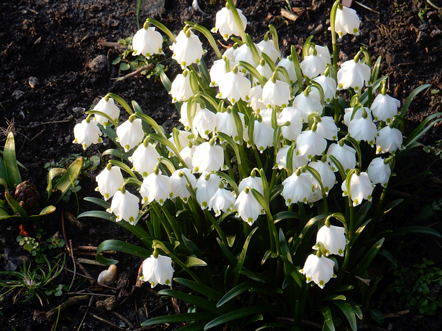 082  Leucojum vernum - ein früher Frühlingsbote