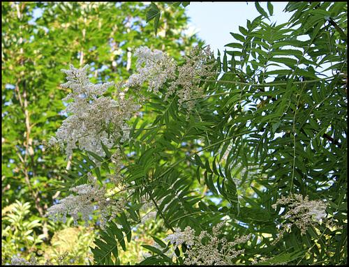 Sorbaria sorbifolia (5)
