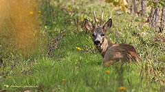 Chevreuil - Roe deer