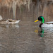 Wood Ducks Return