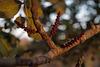 Ceratonia siliqua, Fabaceae