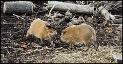 Hog babies play-fighting (1)