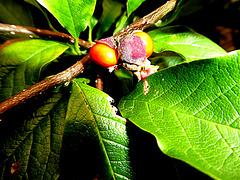Magnolia vruchten