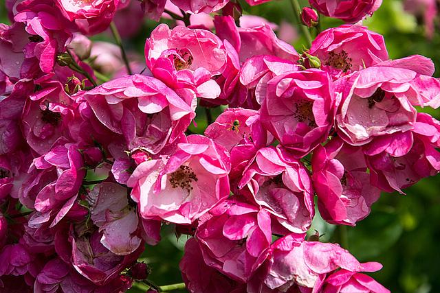 20150703 8400VRAw [D~RI] Rose, Rinteln