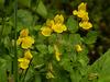 Many-flowered Monkeyflower / Mimulus floribundus
