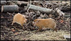 Hog babies play-fighting (2)