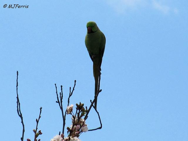 03 ring-necked parakeet