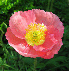 Showy Poppy by My Lovely Wife